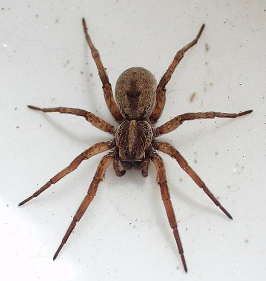 aranha-lobo Espécies de aranhas surpreendem pela peculiaridade Curiosidades