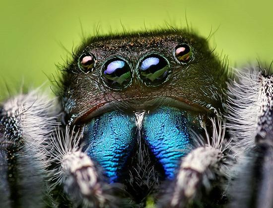 aranha-saltadora Espécies de aranhas surpreendem pela peculiaridade Curiosidades