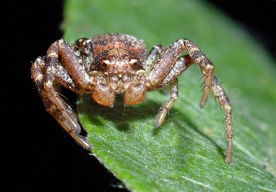 aranha_caranguejo Espécies de aranhas surpreendem pela peculiaridade Curiosidades