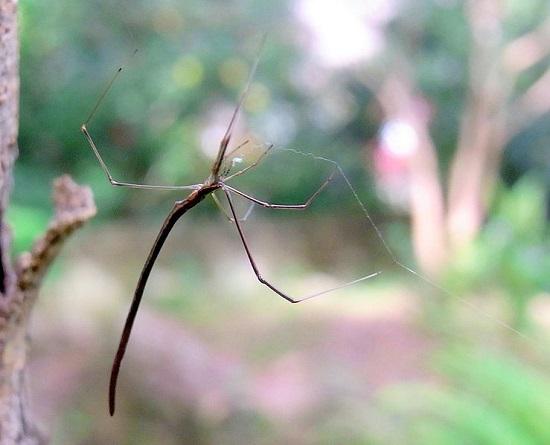 aranha_chicote Espécies de aranhas surpreendem pela peculiaridade Curiosidades