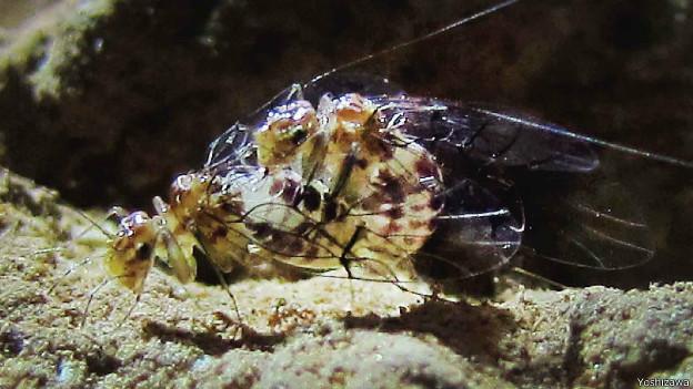 neotrogla Encontrado no Brasil o primeiro inseto fêmea com órgão sexual masculino Curiosidades Notícias