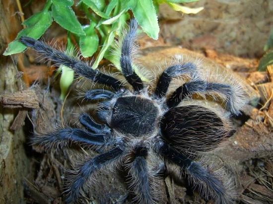 tarantula Espécies de aranhas surpreendem pela peculiaridade Curiosidades