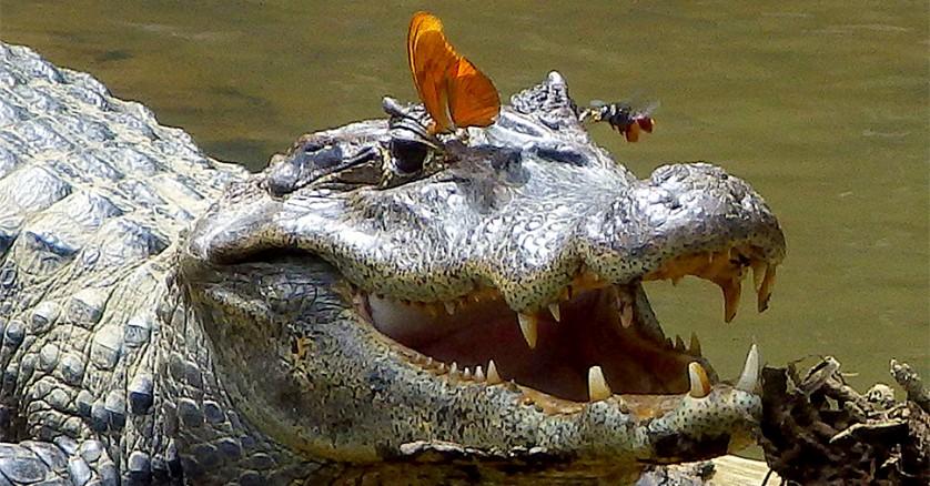 crocodilo_borboleta_abelha Lágrimas de crocodilo alimentam insetos na Amazônia peruana Curiosidades Papo de Praga
