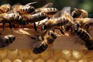 Abelhas-2 Como os favos das abelhas viram hexágonos? Curiosidades