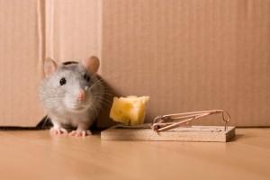 canstockphoto0307650-300x200 O que atrai os ratos para dentro de nossa casa? Curiosidades Dedetização Papo de Praga Perguntas ao Especialista Pragas Prevenções