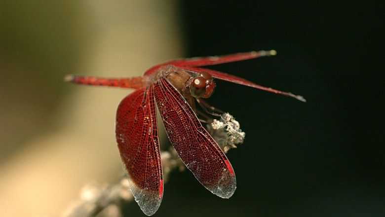 dragonfly-79122_1280 6 animais amigos da horta Perguntas ao Especialista