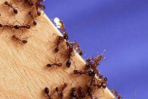 formigas-fire-1-300x200 formigas-fire-1