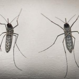 mosquito-aedes-aegypti-e-o-causador-das-tres-doencas-que-mais-alarmam-o-brasil-atualmente-zika-dengue-e-chikungunya-1455572856461_300x300 mosquito-aedes-aegypti-e-o-causador-das-tres-doencas-que-mais-alarmam-o-brasil-atualmente-zika-dengue-e-chikungunya-1455572856461_300x300