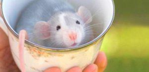 rato-300x146 rato