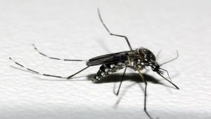 aedes-div-300x169 aedes-div