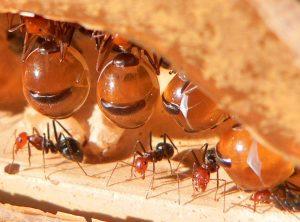 Formigas-pote-de-mel-300x222 Formigas-pote-de-mel