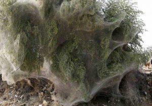 pakistan-trees-webs-2-300x210 Teia de aranha que dá em árvore Curiosidades Notícias Papo de Praga