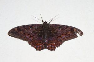 Nocturne_Moth-300x200 Nocturne_Moth