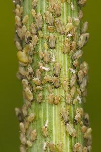 800px-Aphids_feeding_on_fennel-200x300 800px-Aphids_feeding_on_fennel